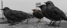 What Starlings Can Teach Us About Herd Mentality | Elliott Wave Analytics