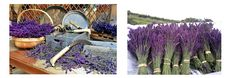 Wye Lavender Wales.