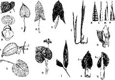 dioscorea cataphyll - Google Search