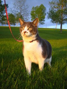 How to walk your #cat on a leash http://yhoo.it/JMLlBY