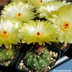 Notocactus glaucinus
