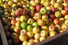 Bay Area apple pickin'