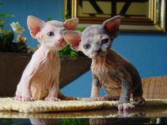 Sphynx kittens - Awwww little cutie babies !!!! ♥♥♥
