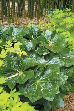 Podophyllum pleianthum, with the more delicate foliage of a bleeding heart (Dicentra spectabilis) Plants Under Trees, All Plants, Garden Plants, A Dream Of Spring, Plantain Lily, Vascular Plant, Big Leaves, Heuchera, Woodland Garden