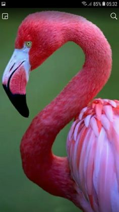 Flamingos are perhaps the most social creatures on earth. A single bird cannot survive without other flamingos. They are highly devoted to the flock. We could learn from them. Pretty Birds, Love Birds, Beautiful Birds, Animals Beautiful, Pretty In Pink, Cute Animals, Pink Animals, Birds 2, Perfect Pink