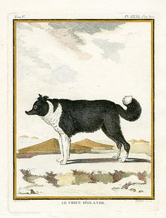 Le Chien d'Islande, Buffon Histoire Naturelle Dog Prints 1766