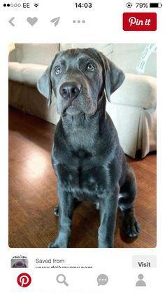 34 Best Silver Lab Images Cute Dogs Cubs Cute Puppies