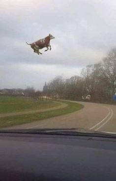 Cute Cows, Cute Funny Animals, Funny Animal Pictures, Funny Photos, Meme Chat, Image Hilarante, Haha Funny, Funny Memes, Fluffy Cows