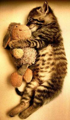 Una monada de gatito durmiendo abrazado su peluche.