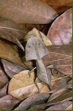 Dead leaf mantis (Deroplatys truncata)