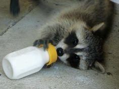 Alimentación de una cría de mapache