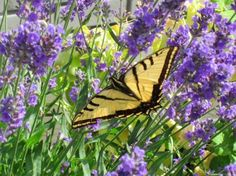 Butterfly posing in the lavender at The Selkirk Motel in Colville, WA, courtesy Manager Shari Roten