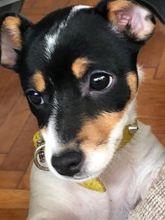 One of the sweetest rattie faces! Of course when you have rattie love in your heart they are all this sweet ~ Perros Rat Terrier, Perro Fox Terrier, Rat Terrier Dogs, Toy Fox Terriers, Jack Russell Terriers, Jack Terrier, Jack Russell Puppies, Patterdale Terrier, Cute Puppies