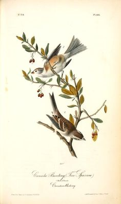 Canada Bunting (Tree Sparrow). 1. Male. 2. Female. (Canadian Barberry), Oil by John James Audubon (1785-1851, Haiti)