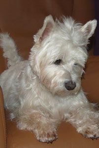 40 Best Sweet Mae, our Westie images in 2017 | West Highland Terrier