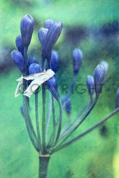 Bild als Schieferplatte kaufen im FineArtPrint Shop 11310688 B?ssler Christine blau blumen blüten detail floral grün knospen makro nahaufnahme ...