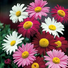 Pyrethrum Mixed June July August September