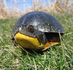 Blandings Turtle - Bing Images