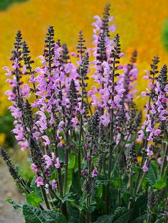 Salvia 'Pink Dawn' This heat-, drought-, rabbit-, and deer-resistant introduction will reward you with clouds of cotton candy pink flowers from late spring to early summer. It has pretty, fragrant foliage, and is compact enough to work as well in containers as it does in the border. Name: Salvia 'Pink Dawn' Growing Conditions: full sun Size: 16-20 inches tall and wide Zone: 3-8 Grow it with: artemisia or dianthus
