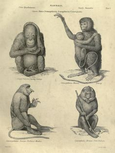 A couple of apes and a couple of monkeys. Illustrations of zoology. The engravings by F.W. Lowry and Thomas Landseer. 1851.