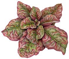 Botanical illustration of American Red Edged Lettuce.