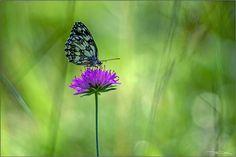 Green magic. | Melanargia Galathea. . Sony A7 + Tair-11A 135… | Flickr