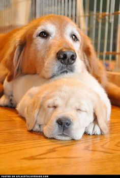 Momma Retriever taking care if puppy