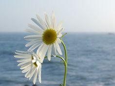 Ocean Daisies Kristy Evans