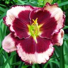 Photo of Daylily (Hemerocallis 'Bart Roberts') uploaded by Ladylovingdove