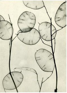 Lunaria (Honesty or Money Plant) by Willy Zielke 1930.