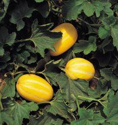 Diatomaceous Earth for Squash Vine Borers