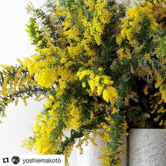 How stunning are these  from @yoshiemakoto - #Repost @yoshiemakoto with @repostapp  今日の仕入れ  Today's stocking  #銀葉アカシア #ミモザ #ヨシエマコト  #cootamundrawattle #mimosa  #yoshiemakoto