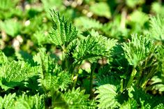 Are Any of These 12 Poisonous Plants in Your Backyard? Thinning Hair Remedies, Acne And Pimples, Poisonous Plants, Liver Cleanse, Skin Rash, My Cookbook, How To Get Rid Of Acne, Natural Home Remedies, Life Is Good