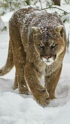 Mountain Lion or Puma?