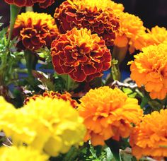 French Marigolds looking glowing in the sunshine at our garden centre