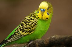 What is the best pet bird for you? Quiz Result - All Pet Birds Budgie Parakeet, Parakeets, Baby Budgies, Small Birds, Pet Birds, Colorful Birds, Parrot Bird, Animals, Paisajes