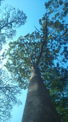 Árvores do Rio Great trees  Andarillo.com
