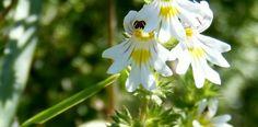 Augentrost (Euphrasia officinalis) die klassische Heilpflanze bei Problemen der Augen (z.B.: Bindehaut- und Augenlidentzündungen). Lesen Sie hier mehr über die Heilpflanze und ihre Wirkungen.