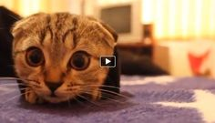 This adorable scottish fold kitten is stuck in a jacket sleeve. Well at least that's how it looks at the beginning. After a few moments we can see that it actually enjoys being there and doesn't want to get out. It must be very comfortable in there!