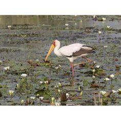 Yellow-Billed Stork (Mycteria ibis) in a pond Okavango Delta Ngamiland Botswana Canvas Art - Panoramic Images (12 x 16)