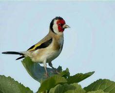 Bird, Facebook, Photography, Animals, Goldfinch, Birds, Morocco, Fotografie, Animales