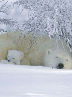 Sleeping mama and baby polar bears