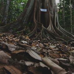 Árvore Gameleira - RN