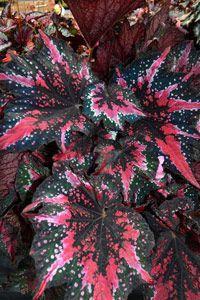 "Begonia Plant Harmony/'s Black Rose 4/"" Pot Rex"