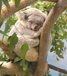 """This little koala is just too cute...you've got to go say """"hi"""" to this little guy at the Zoo when you're enjoying the sights and scenery at your San Diego vacation rental!"""