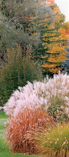Great example of Miscanthus purpurascens or Flame grass in all its fall glory, mutes down only slightly after hard frosts & snow but stays until early spring (Z2b-3a, sun, dry-ave-*prefered moist, in coldest zones, may not flower every year)