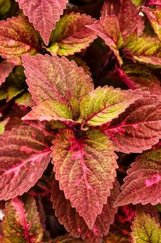 Coleus plants make great indoor house plants. Learn: How to Care for Coleus as a House plant. Will try moving some inside this year. Stupid boy cats will probably pee on them. Shade Garden, Garden Plants, Planting Succulents, Planting Flowers, Agave Plant, House Plants Decor, Foliage Plants, Plantar, Shade Plants