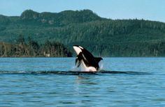 Orca Whale- Vancouver Island