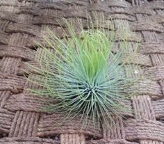 Amazon.com: Airplant Andreana XL (Grown and Shipped From California): Patio, Lawn & Garden