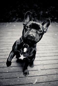 I have a serious obsession with frenchies, I WANT HIM
